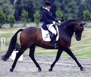 Aimbry Chester Performance Pony Stallion