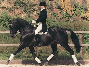 Catherston Dazzler, British Sports Horse Stallion