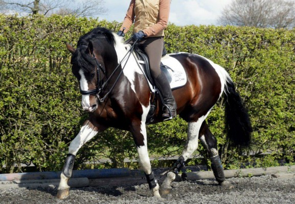 Samara fly Dual Purpose Stallion