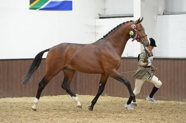 Timolin - British Bred Futurity Elite Stallion