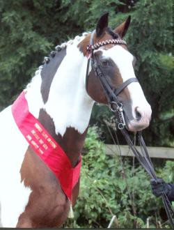 Country Top Gun Elite CHAPS Coloured Stallion
