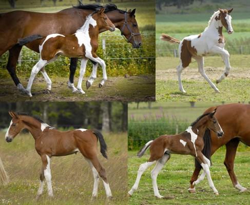 Homozygous Tobiano Stallion Solaris Buenno