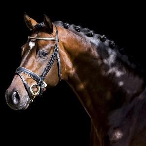 UK Dressage Stallion Denver LG