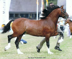Welsh Section C Stallion Coeden Daddy Cool