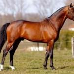 horse-scout-listing-for-stallion-at-stud -bentl-van-de-heffinck