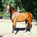 cassilano-jumping-colt-advertised-for-sale-on-horse-scout