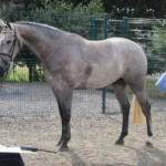 Cevin Z event Prospect for sale on Horse Scout