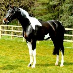 Dreammaker Stud advertises its Stud, its Stallions and its Youngstock for sale on Horse Scout.