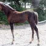 filesco-filly-x-silvio-dam-for-sale-on-horse-socut