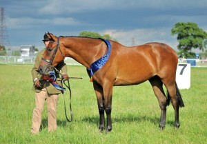 well-made-power-blade-2012-gelding-by-power-blade-advertised-for-sale-on-horse-scout