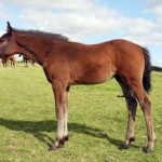 Well made bay colt by Filesco with jump breeding