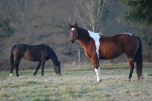 horses-1632745_960_720