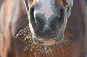 Equine Herpes